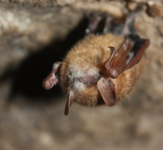 White-Nose Syndrome on Tri-Colored Bat