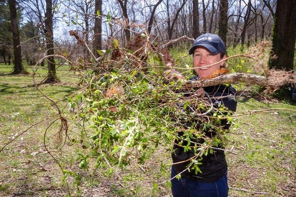 Volunteer removes bush honeysuckle