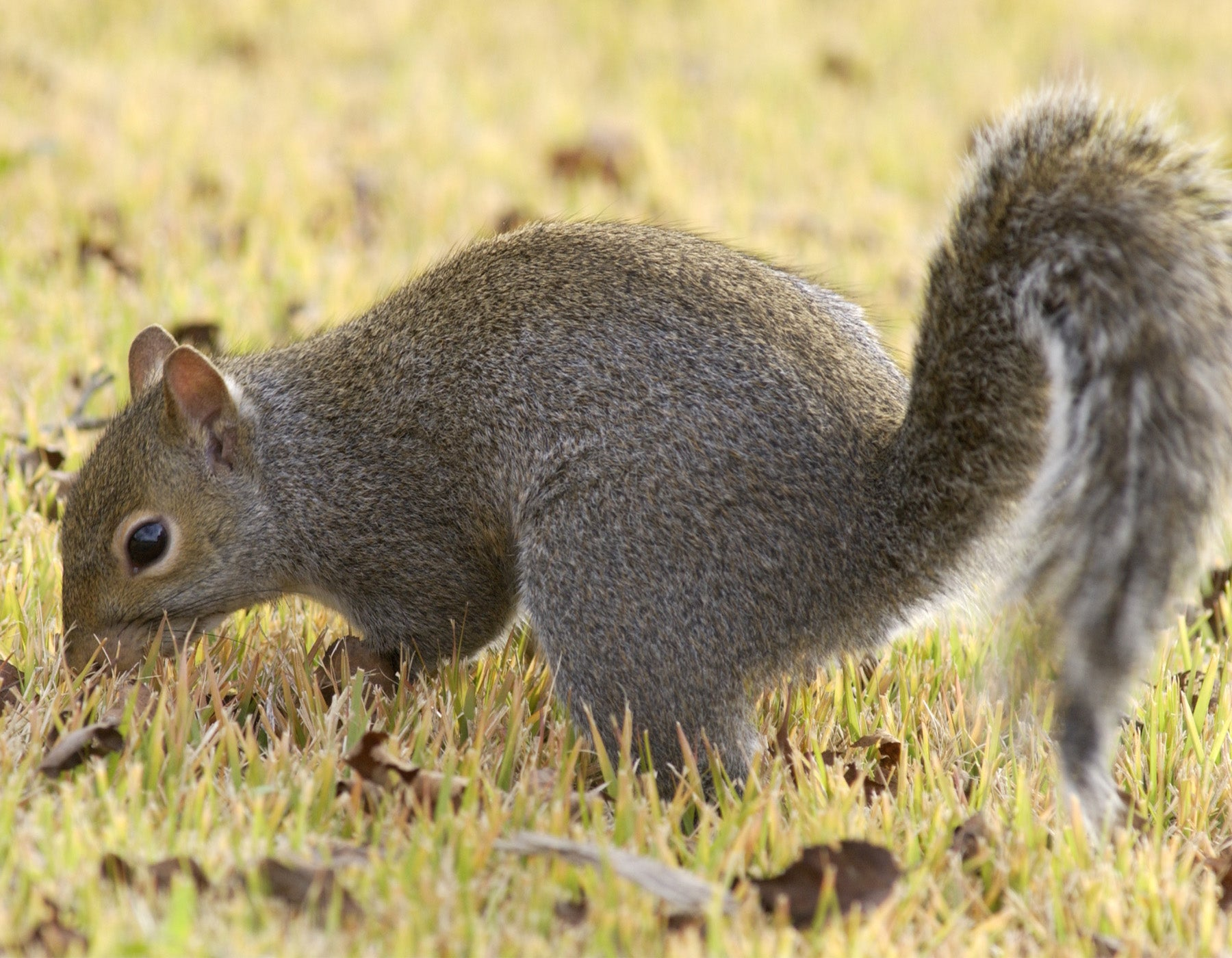 squirrel season opens may 28 missouri department of conservation