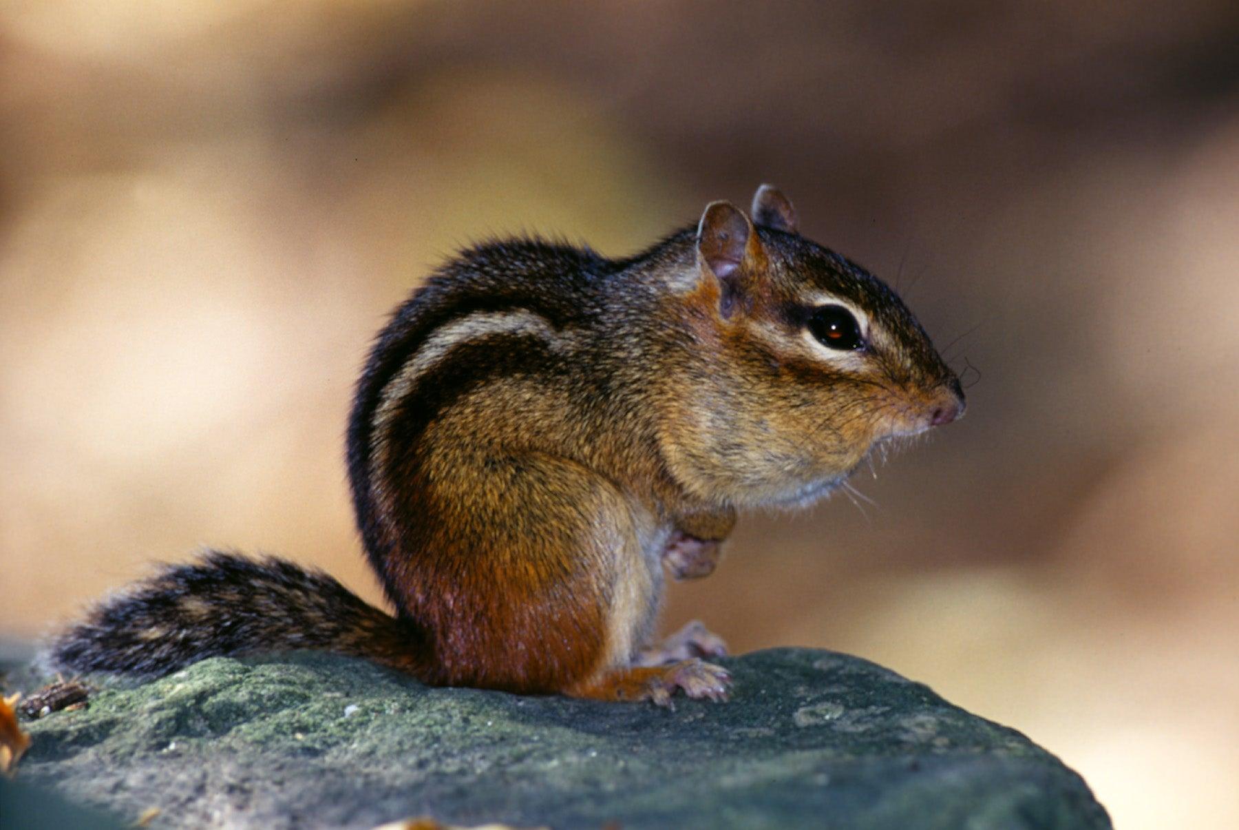 Chipmunk Control | Missouri Department of Conservation