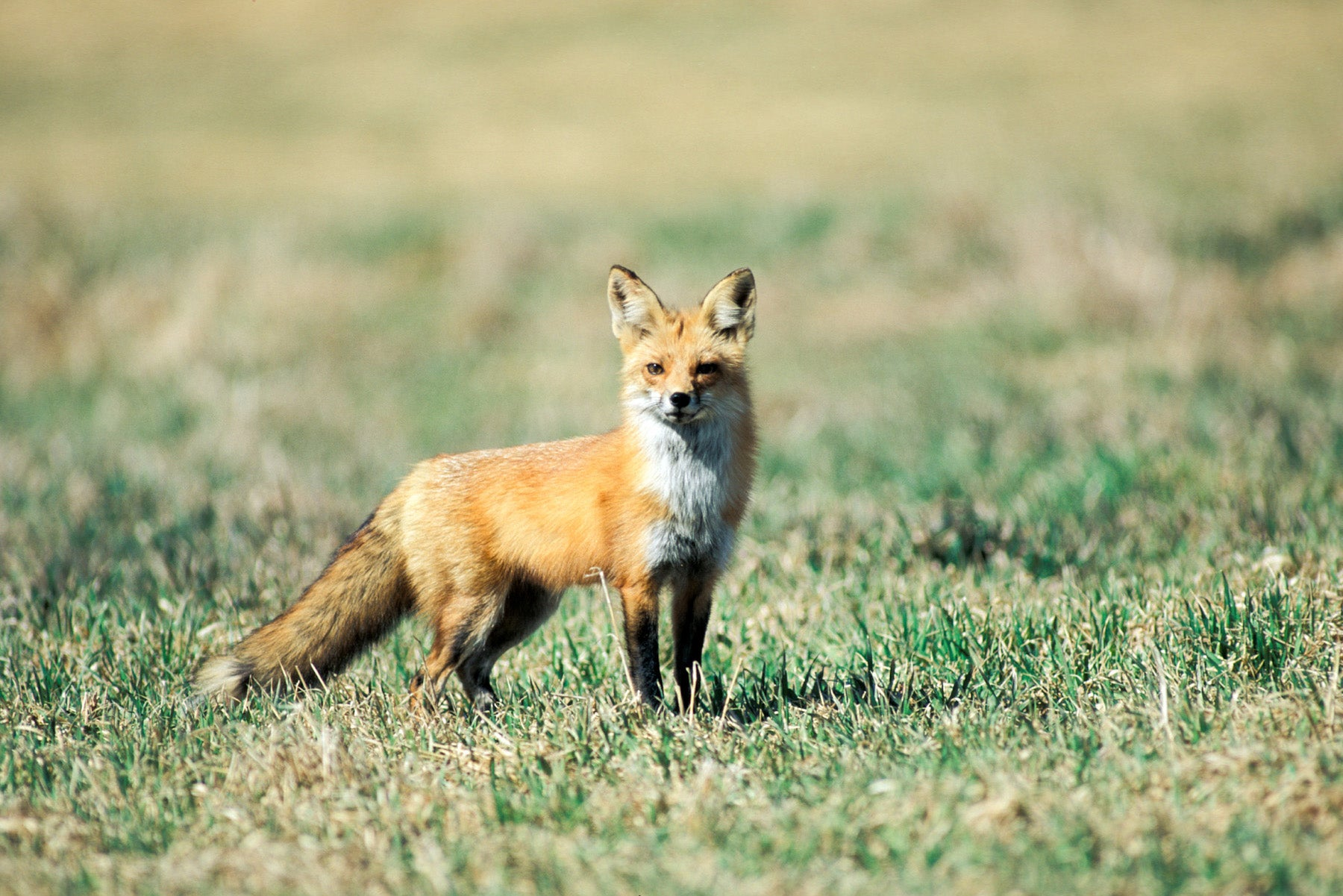 red fox standing in a yard