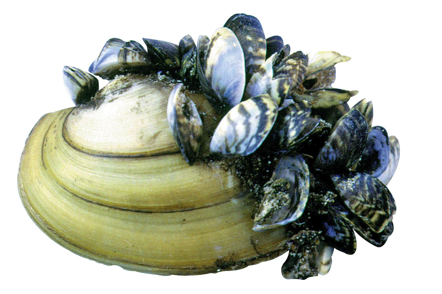 zebra mussels research papers Businesss research papers (20, 108 the zebra mussel will begin spawning when water temperature reach 54 degrees and continues until the.