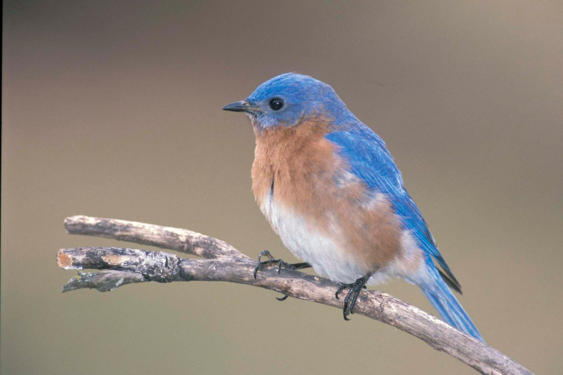 Eastern bluebird on a branch