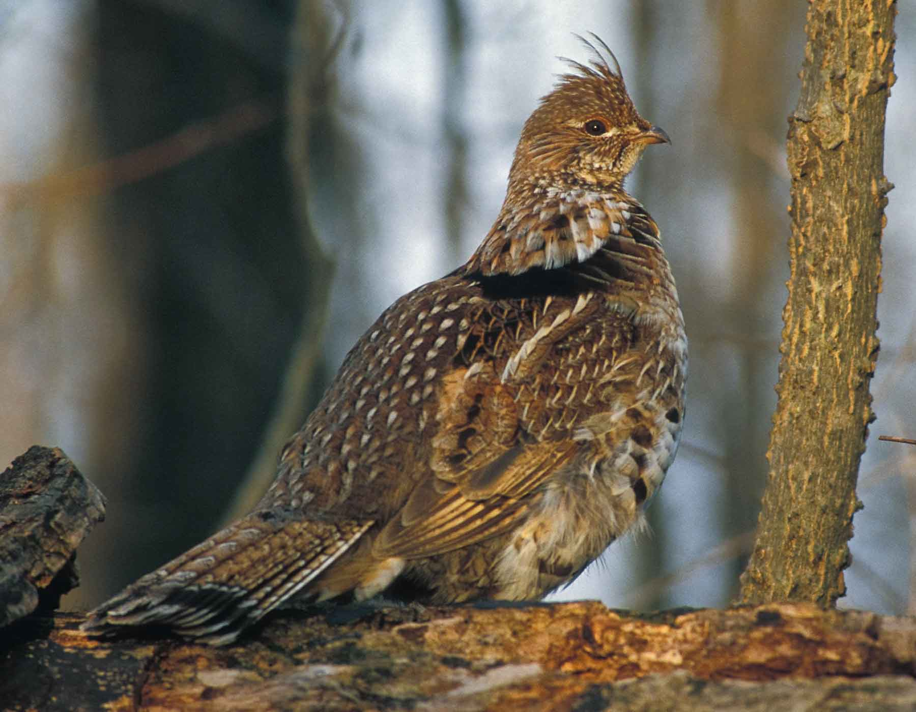 Photo of ruffed grouse standing on a log