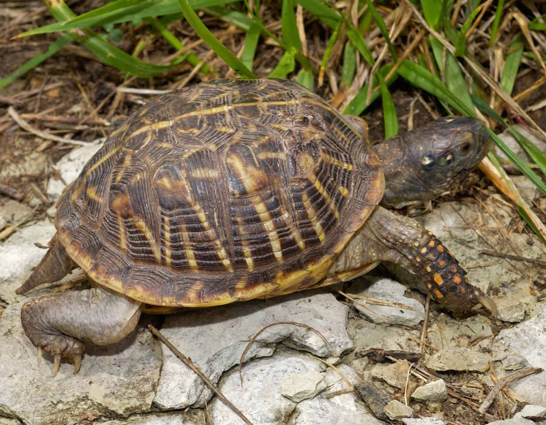 An ornate box turtle walking.
