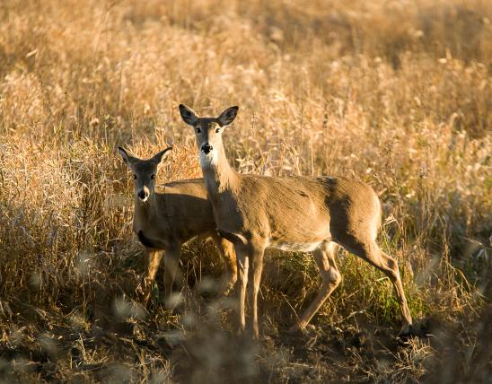 A white-tailed deer doe and fawn
