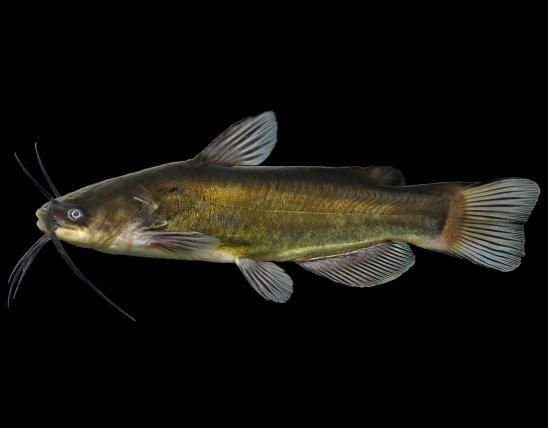 Black bullhead side view photo with black background