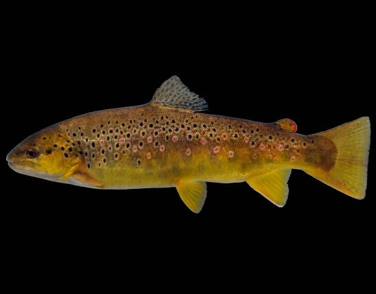 Brown trout female side view photo with black background