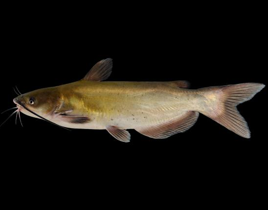 Channel catfish side view photo with black background