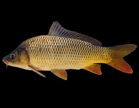Common carp side view photo with black background