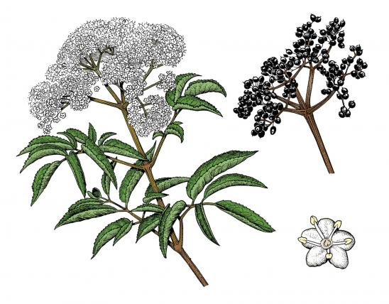 Illustration of common elderberry leaves, flowers, fruits