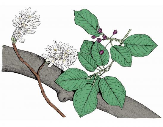 Illustration of downy serviceberry leaves, flowers, fruits.