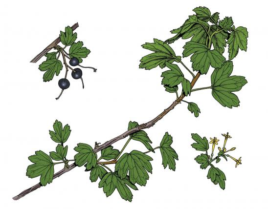 Illustration of golden currant leaves, flowers, fruits