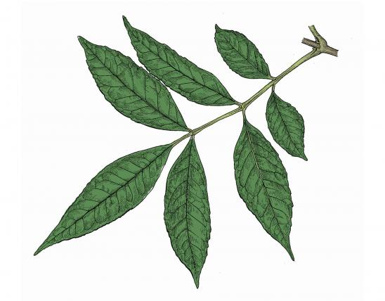 Illustration of green ash leaf.