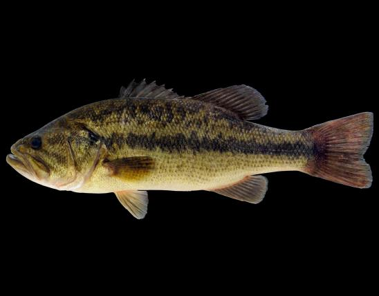 Largemouth bass side view photo with black background