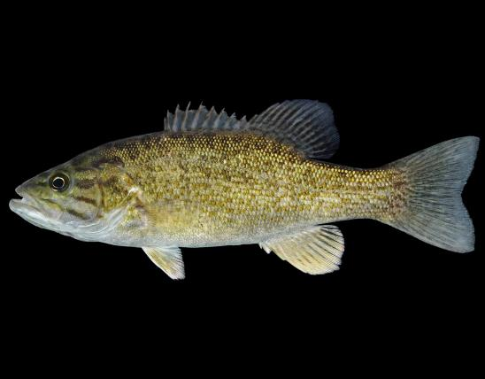 Smallmouth bass side view photo with black background