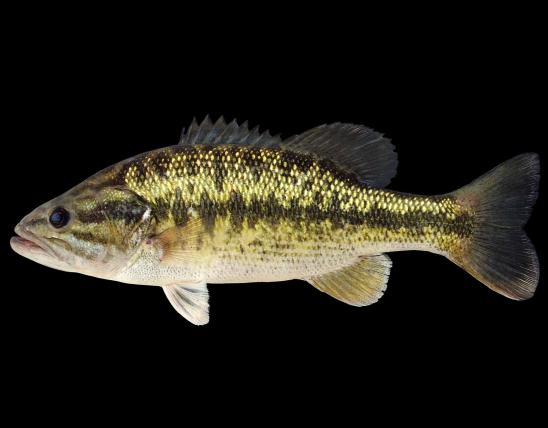Spotted bass side view photo with black background