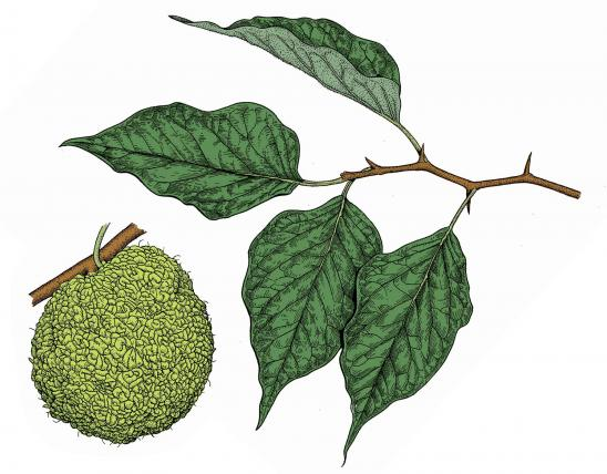 Illustration of Osage orange flowers and fruit.