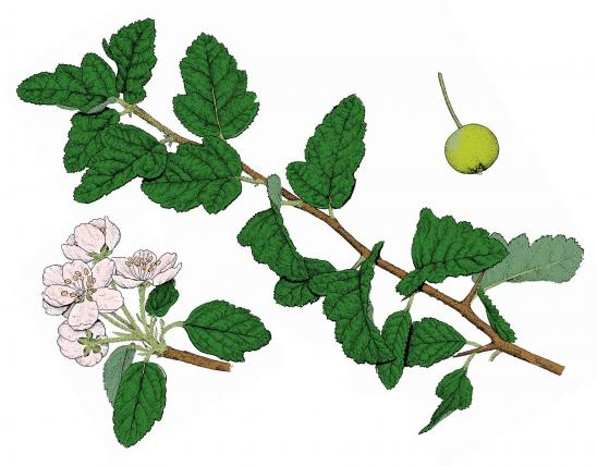 Illustration of prairie crab apple leaves, flowers, fruits.