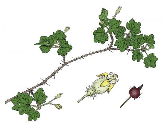 Illustration of prickly gooseberry leaves, flowers, fruits