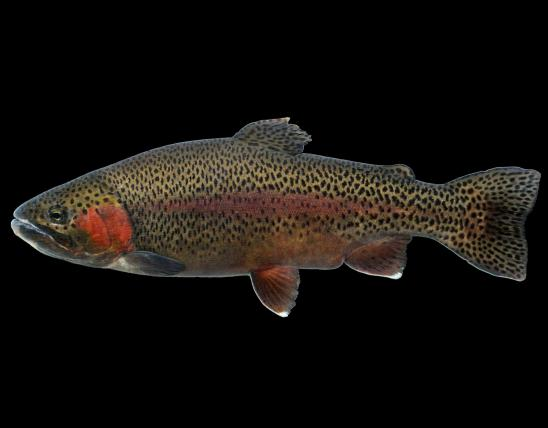 Rainbow trout side view photo with black background