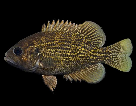 Northern rock bass, or goggle-eye, side view photo with black background