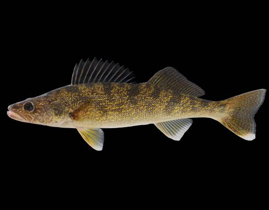 Walleye side view photo with black background