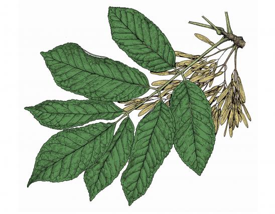 Illustration of white ash leaf, fruit.