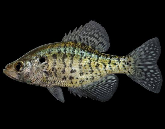 White crappie male, side view photo with black background