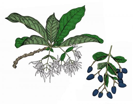 Illustration of white fringe tree leaves, flowers, fruits