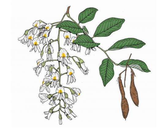 Illustration of yellowwood leaves, flowers, fruit