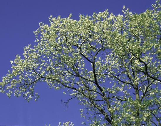 black locust tree in bloom