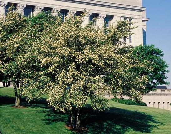 Photo of hawthorn trees blooming on lawn of Missouri state capitol