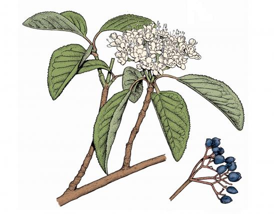 Illustration of black haw leaves, flowers, fruit.