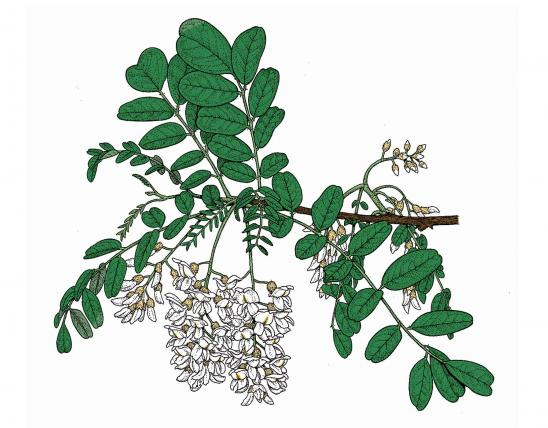 Illustration of black locust leaves and flowers.