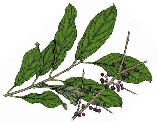 Illustration of common buckthorn leaves and fruits.