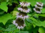 Photo of Ohio horsemint inflorescence