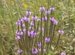 Photo of blue vervain flower clusters in a prairie