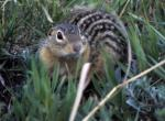 photo of a thirteen-lined ground squirrel
