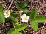 Photo of wild strawberry plant with flowers