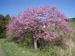 A redbud tree in bloom.