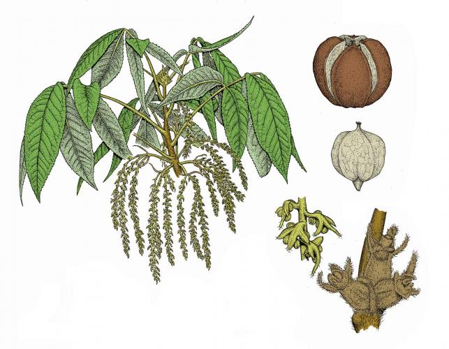 Illustration of shagbark hickory flowers, leaves, and fruits.