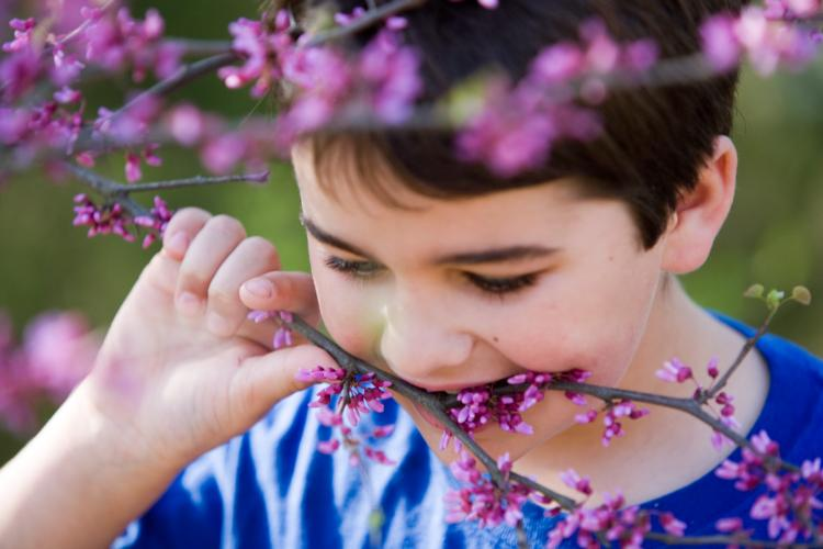 A boy eating redbud flowers right off the branch
