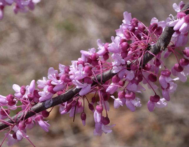Eastern redbud tree branch covered in rose-purple blossoms