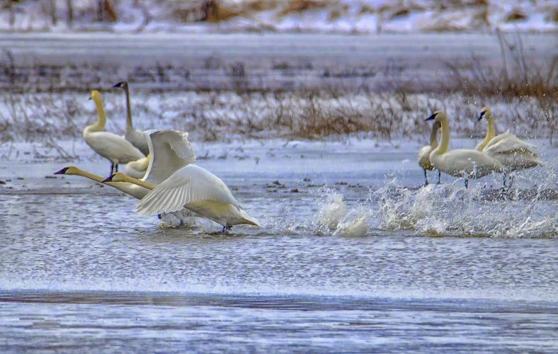 Two swans flap their wings as they get airborne. There are several other swans on the ground behind them.
