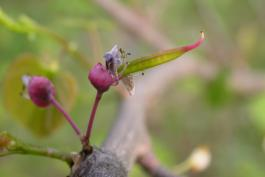 Immature redbud pod forming on remnants of flower