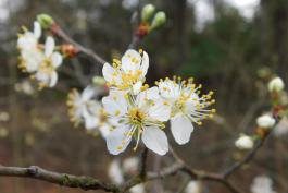 Cluster of wild plum blossoms on a twig