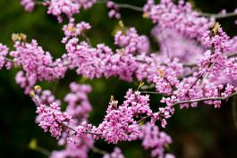 Photo of eastern redbud blossoms