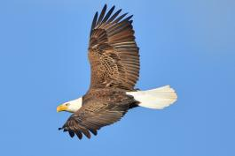 Photo of bald eagle flying at Eagle Bluffs CA