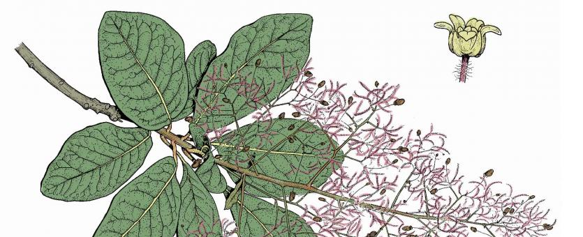 Illustration of American smoke tree leaves, flowers, fruits